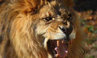 Vad är lejonekonomier?