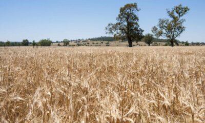 Kina höjer tullarna för australiensisk spannmål till 80 procent