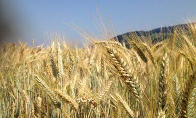 Utdragen El Niño kan leda till spannmålsrally
