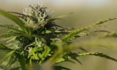 AdvisorShares Pure Cannabis ETF(NYSEArca: YOLO ETF) är en aktivt förvaltad ETF som söker långsiktig kapitalökning genom att investera i både amerikanska och utländska cannabisaktier.