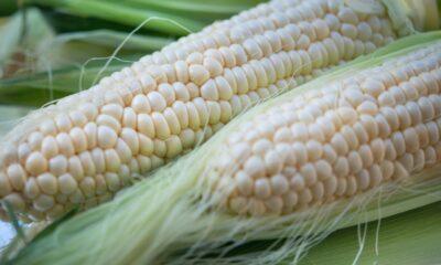 Teucrium Agricultural Fund (NYSEArca: TAGS ETF) är en är en fond-av-fond som investerar direkt i de fyra Teucrium-råvarufonderna. Fonden balanserar om dagligen för att ge lika exponering för majs, vete, socker och sojaböno