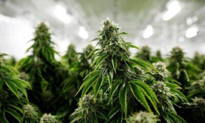 HANetf The Medical Cannabis and Wellness UCITS ETF (CBSX ETF) investerar i nordamerikanska aktier med fokus på Cannabis. Utdelningen i fonden återinvesteras (ackumuleras).