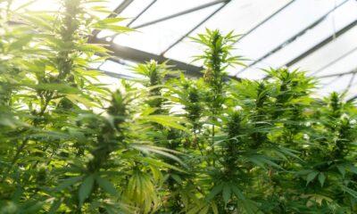 Amplify Seymour Cannabis ETF (NYSEArca: CNBS ETF) investerar i cannabisaktier över hela världen. Fonden investerar i värdepapper från företag med alla marknadsvärden